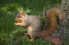 Eekhoorn die Okkernoot eet Stock Afbeelding