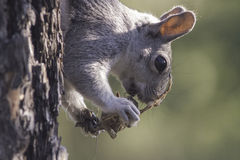 Eekhoorn die onbekend schepsel eten royalty-vrije stock foto's