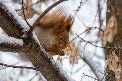 Eekhoorn die op boomtak eten die met sneeuw wordt behandeld Royalty-vrije Stock Afbeeldingen