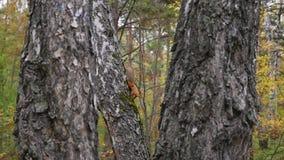 Eekhoorn die op de bomen springen Tijd van jaar - de herfst stock video