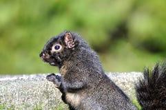 Eekhoorn die op de steen beklimt Royalty-vrije Stock Foto's