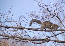 Eekhoorn die op onvruchtbare boomtak lopen Stock Foto's