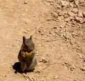 Eekhoorn die pinda eet Royalty-vrije Stock Foto