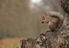 Eekhoorn die pinda's eten Stock Foto