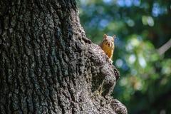 Eekhoorn die rond de boomstam van een grote boom gluren die camera met groene en blauwe erachter bokeh bekijken stock afbeelding