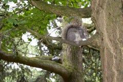 Eekhoorn die in Sheffield Botanical Gardens eten royalty-vrije stock afbeelding