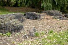 Eekhoorn die in Sheffield Botanical Gardens eten stock foto