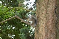 Eekhoorn die in Sheffield Botanical Gardens eten royalty-vrije stock fotografie