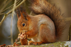 Eekhoorn die van het sparappel genieten stock fotografie