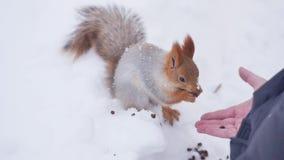 Eekhoorn die voedsel op de winterachtergrond eten stock videobeelden