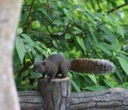 Eekhoorn die voedsel zoeken Stock Afbeelding