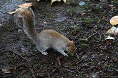 Eekhoorn die voedsel zoekt Royalty-vrije Stock Afbeelding