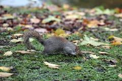 Eekhoorn die voedsel zoekt Stock Foto