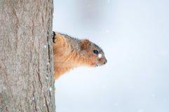 Eekhoorn die zich aan een boom vastklampt royalty-vrije stock afbeeldingen