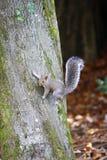 Eekhoorn die zich aan een boom vastklampt royalty-vrije stock foto