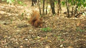 Eekhoorn die zijn kant krassen stock video
