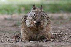 Eekhoorn die zonnebloemzaden eet Royalty-vrije Stock Afbeelding