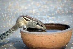 Eekhoorn drinkwater in een pot Royalty-vrije Stock Fotografie