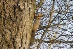 Eekhoorn in een berk Stock Afbeelding