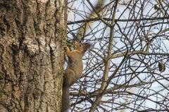 Eekhoorn in een berk Stock Afbeeldingen