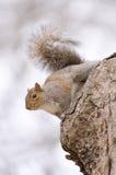 Eekhoorn in een boom Stock Afbeeldingen
