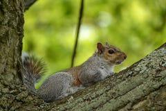Eekhoorn in een boom stock afbeelding