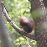 Eekhoorn in een boom stock fotografie