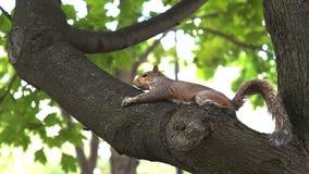 Eekhoorn in een boom bij de wandelgalerij van Washington stock videobeelden