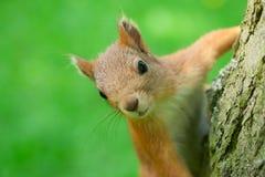 Eekhoorn in een boom die de camera bekijken Close-up stock foto's