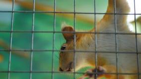 Eekhoorn in een kooi in het petting van dierentuin stock footage