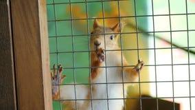 Eekhoorn in een kooi in het petting van dierentuin stock video