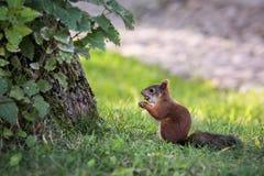 Eekhoorn in een stadspark vroeg een de zomerochtend Royalty-vrije Stock Foto's