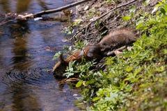 Eekhoorn in een stadspark vroeg een de zomerochtend Stock Foto