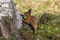 Eekhoorn in een stadspark vroeg een de zomerochtend Stock Afbeeldingen