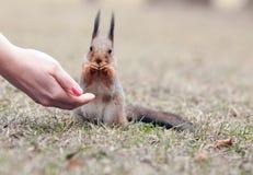 Eekhoorn en de hand Stock Foto
