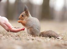 Eekhoorn en de hand Stock Foto's