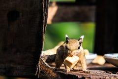 Eekhoorn en een stuk van banaan Stock Afbeeldingen