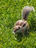Eekhoorn, gnawer, Atlantoxerus-getulus Stock Foto