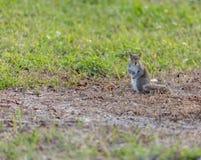 Eekhoorn in gras stock foto's