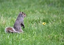 Eekhoorn in gras Royalty-vrije Stock Afbeelding