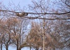 Eekhoorn hangende bovenkant - neer op onvruchtbare boomtak in het park van Chicago Stock Foto's