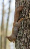 Eekhoorn headfirst Royalty-vrije Stock Afbeeldingen