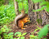 Eekhoorn in het bos Stock Afbeelding
