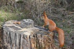Eekhoorn in het bos. Stock Afbeeldingen