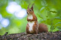 Eekhoorn in het bos Royalty-vrije Stock Afbeelding