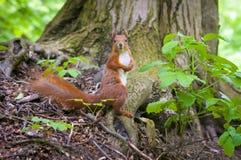 Eekhoorn in het bos Royalty-vrije Stock Afbeeldingen