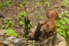 Eekhoorn in het bos Stock Fotografie