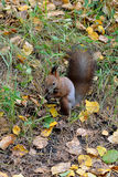 Eekhoorn in het de herfstbos Stock Foto