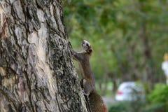 Eekhoorn het dierlijke spelen op boom in openbaar park Royalty-vrije Stock Afbeelding