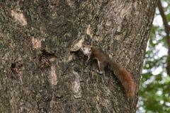 Eekhoorn het dierlijke spelen op boom in openbaar park Stock Fotografie